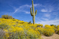 Arizona desert in spring a wildflower bloom surrounds a saguaro cactus the Royalty Free Stock Photography