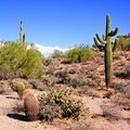 Arizona desert view with giant saguaro cactus Royalty Free Stock Images