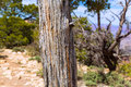 Arizona Grand Canyon Juniper tree trunk texture Royalty Free Stock Photo