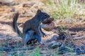 Arizona Gray Squirrel Royalty Free Stock Photo