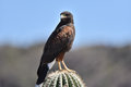 Arizona Harris Hawk Royalty Free Stock Photo