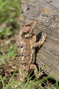 Arizona Horned Toad on Log Stock Image