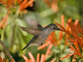 Arizona Humming Bird Stock Photo