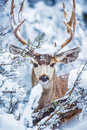 Arizona Mule Deer Royalty Free Stock Photo