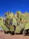 Arizona nopal cactus prickly pear or paddle with yellow flowers in spring desert Stock Photo