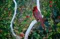 Arizona Redbird Royalty Free Stock Photo