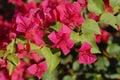 Arizona s flower antigonon leptopus baja red queen s arizona flowers close up Royalty Free Stock Photography