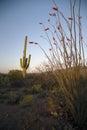 Arizona, Tucson, USA, April 9 2015, Saguaro National Park West, Saguaro Cactus at sunset Royalty Free Stock Photo