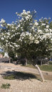 Arizona white oleander hardy tree as an accent of desert city landscaping phoenix az Royalty Free Stock Images