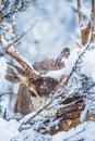 Arizona Winter Mule Deer Royalty Free Stock Photo