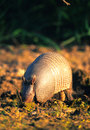 Armadillo Fotografia de Stock Royalty Free
