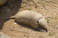 Armadillo close up on a leaving is lair Royalty Free Stock Photo