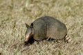 Armadillo in the grass Left Side Stock Photography