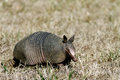 Armadillo in the Grass Right Side Royalty Free Stock Images