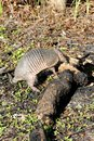 Armadillo with Log Stock Photography