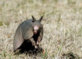 Armadillo Sits Up in the Grass Royalty Free Stock Images