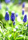 Armenian grape hyacinth growing in the garden Royalty Free Stock Image
