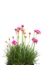 Armeria Stock Photos