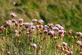 Armeria Maritima, Sea Pink or Thrift Wild flowers Royalty Free Stock Photo