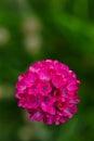 Armeria vulgaris Wild blooms in spring. A perennial garden plant