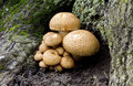 Armillaria, Honey Fungus Royalty Free Stock Photo