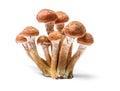 Armillaria mellea - Honey gel Hallimasch mushroom
