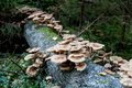 Armillariella mellea, Honey Fungus Royalty Free Stock Photo