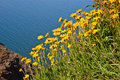 Arnica on the cliff above sea Royalty Free Stock Photography