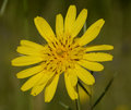 Arnica flower on a field Royalty Free Stock Photos