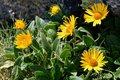 Arnica Royalty Free Stock Photo