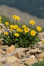 Arnica Montana (Doronicum Grandiflorum) Royalty Free Stock Photo