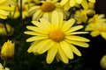 Arnica montana european flowering plant used in herbal medicine Stock Image