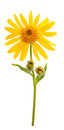 Arnica montana flower on white background Stock Images