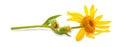 Arnica montana flower on white background Stock Images
