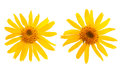 Arnica montana flower on white background Royalty Free Stock Photo