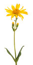 Arnica montana isolated on white background Royalty Free Stock Images