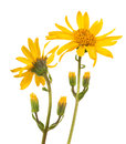 Arnica montana isolated on white background Stock Images