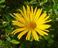 Arnica montana yellow mountain flower Stock Image