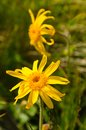 Arnica montana yellow mountain flower Royalty Free Stock Image