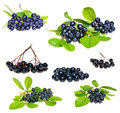 Aronia black choke berry isolated fruits separated pile of fruit twig with leaves and bunch Royalty Free Stock Photo