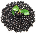 Aronia melanocarpa Stock Photography