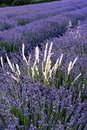 Lavender fields of the Southern France Royalty Free Stock Photo