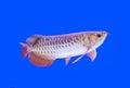 Arowana fish red tail Royalty Free Stock Photo