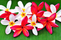 Arrangement of beautiful frangipani Royalty Free Stock Photography