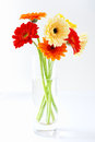 Arrangement of colourful gerbera daisies in a clear glass vase in shades red yellow and orange on a white studio background Stock Photos