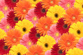 Arrangement daisies grouped together to form colorful background Royalty Free Stock Photography