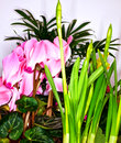 Arrangement pink flowering cyclamen narcissus Royalty Free Stock Images