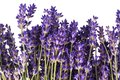 Arrangement of violet lavendula flowers on white background, studio photo, close up. Royalty Free Stock Photo