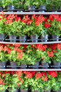 Array of red pot flowers on shelves shot in sicily Royalty Free Stock Image