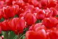 Array of red tulips glorious close up in the flower fields holland Royalty Free Stock Images